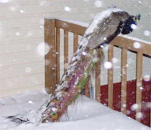 [Snowy peacock]